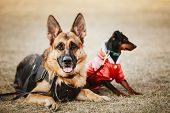 foto of doberman pinscher  - Brown German Sheepdog And Black Miniature Pinscher  Pincher Laying Together On The Dry Grass - JPG