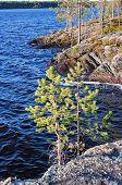 Small Pines On Stone Coast