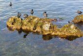 image of sevastopol  - Water chicken coots wintering on the Black sea coast - JPG