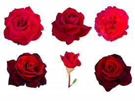 stock photo of six-petaled  - collage of six red roses isolated on white background - JPG