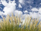 Green Grass Fluffy White Clouds poster