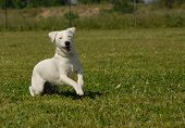 stock photo of jack russell terrier  - running purebred jack russel terrier in a field - JPG