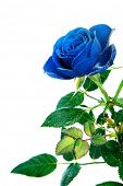 a  blue rose isolated on a white background
