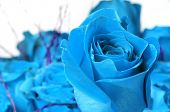 a bouquet of blue roses isolated on a white background