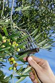 harvesting olives in an olive grove in Catalonia, Spain