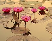 Water Lilies Thailand