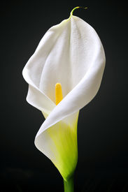 foto of single flower  - details of White Calla isolated on black background - JPG