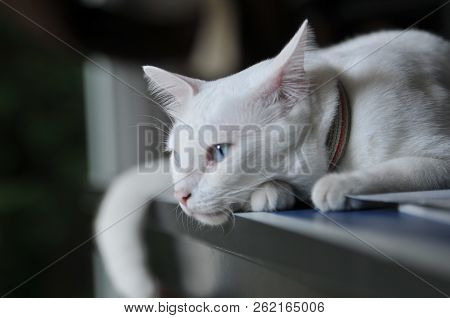 poster of Siamese Cat Is The Thai Domestic Cat, Very Cute And Smart Pet In House, White Cat, Cat Feeling Lonel