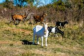 Pasture With White Billy Goat, Brown And Black Goats Grazing, Sunny Fall Day, Blue Sky, Dry And Gree poster