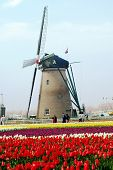 Tulips and the windmill in Narita City, near Tokyo