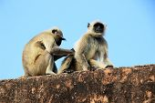 Monkey Busy In Picking Lice From Body Of Companion Sitting On Parapet At Jaigarh Palace In Jaipur, R poster