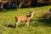 pic of blacktail  - Californian Blacktail buck - JPG