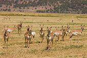 Herd of North American Pronghorn