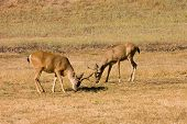 pair of California Blacktail bucks eating