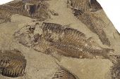 foto of paleozoic  - fossilized fish in a bed of sandstone - JPG