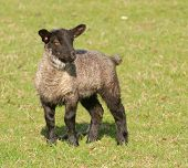 young lamb frolicking on the meadow