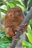 Tarsier - the smallest primate, holding a branch