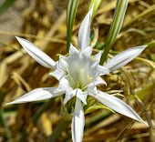 Sea Lily, Herbaceous Plant With White Flowers, Large And Scented, Blooming In July And August, On Th poster
