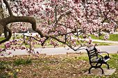 stock photo of profusion  - Park bench under the magnolia tree in Goodale Park in Columbus - JPG