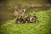 Baby mallards with mother in the background