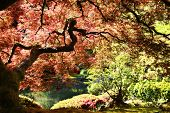 Japanese maple in the Japanese Gardens in Portland, Oregon