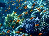 Underwater landscape with Scalefin Anthias. Red Sea