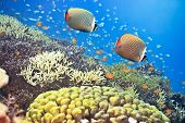 Underwater landscape with couple of Red-tailed Butterflyfishes (Chaetodon collare)