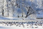 Morning Winter Frosty Landscape In The Park. Winter Landscape. Severe Frost, Snowy Trees, Sunny Weat poster