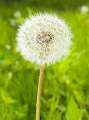 dandelion head on the spring meadow
