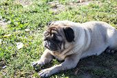 Young Pug-dog.young Energetic Dog On A Walk. Sun. Funny Face. Training Of Dogs. Young Energetic Dog  poster