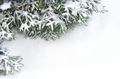 snow fir tree branches under snowfall. framework for text