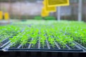 Growing Green Plant Seedlings In Industrial Bedding Agricultural Plant Nursery Greenhouse, Plantatio poster