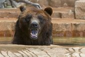 Grizzlies are immense bears, weighing up to 1,400 pounds. They eat both plants and animals, and are