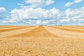 Big Yellow Field After Harvesting. Mowed Wheat Fields Under Beautiful Blue Sky And Clouds At Summer  poster
