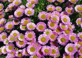 Colorful pink Aster Alpinus flowers growing in Cornwall, UK.