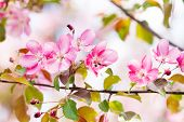 Cherry Blossom Spring Landscape. Blossoming Pink Petals Fruit Tree Branch. poster