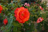 Red Rose Bud, Red Rose Orange-red Rose, Natural Rose Pictures, poster