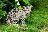 Female Clouded Leopard Sitting Under Bush