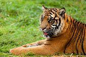Portrait Of Sumatran Tiger Lying Down