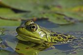 Bullfrog Partially Submerged on a Lily Pad
