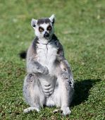 Lemur Sat Down On The Grass (front View)