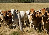 pic of brahma  - Australian brahma beef cattle line along a barbed wire fence - JPG