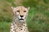 Head Shot Portrait Of Beautiful Cheetah