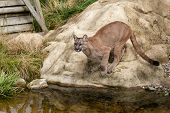 Puma Crouching About To Jump Off Rock