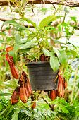 stock photo of nepenthes  - nepenthes or pitcher plants or monkey cups - JPG