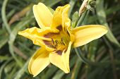 Daylily On Garden Background