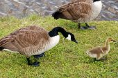 pic of mother goose  - A mother goose scoots her little young one around - JPG