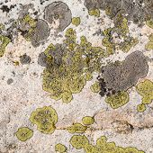 picture of face-fungus  - Background texture with yellow and grey lichen pattern on a granite stone - JPG