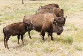 Bison Mom And Son