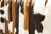 Brown woolly spotty skin cow fur background